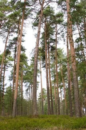 conifers: Forest of conifers in Scandinavia