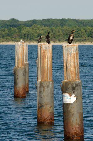 cormorants: Cormorants standing on metal pillars
