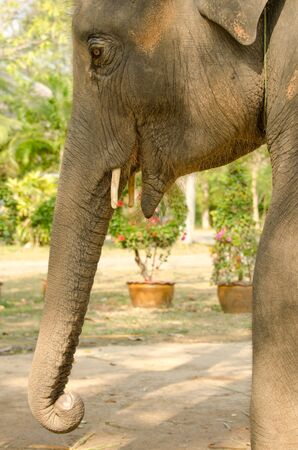 koh: A young elephant in Koh Chang, Thailand Stock Photo