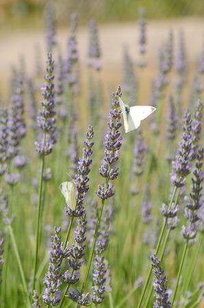 papillon: White butterflies on lavender flowers Banque d'images
