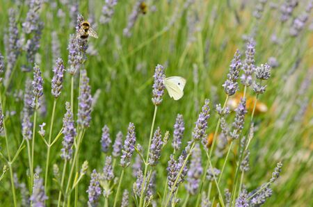 papillon: White butterfly on lavender flowers