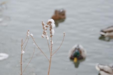 ducks water: Ducks in freezing water
