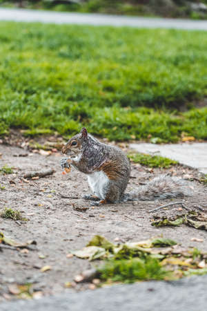 A squirrel eating nuts on the grass with sunlihgt in boston public garden 免版税图像