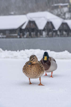 Mallards at the lake shore of Konigsee during heavy snow in winter time Stockfoto