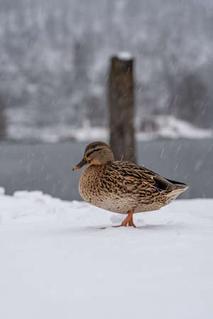 Mallards duck walk by Lake Konigssee Germany during snow in winter time