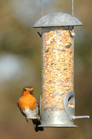 Robin on a bird feeder Stok Fotoğraf