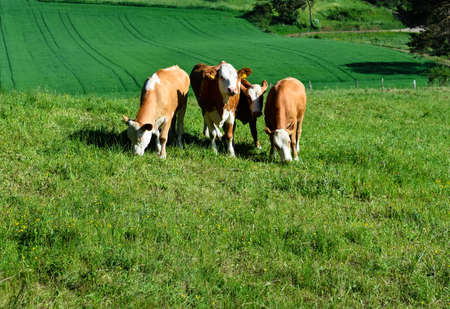 Four cows graze in a lush meadow in the Eifel Stock Photo