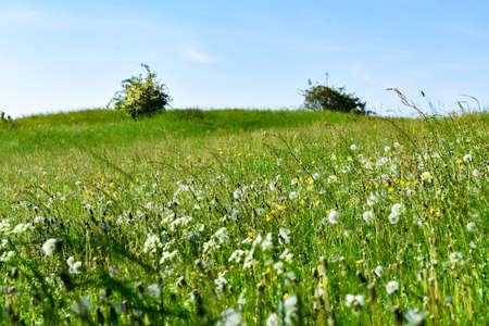 Great green meadow with dandelions in spring in the Eifel