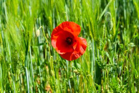 Poppy grows in the middle of a grain field 版權商用圖片