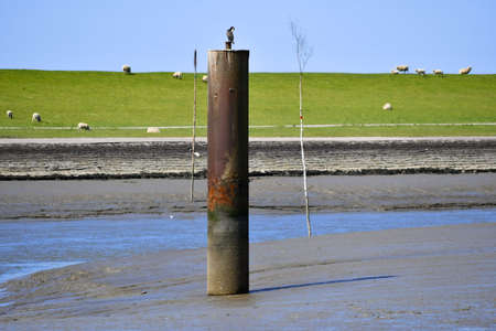The harbor in Husum at low tide with sheep in the background
