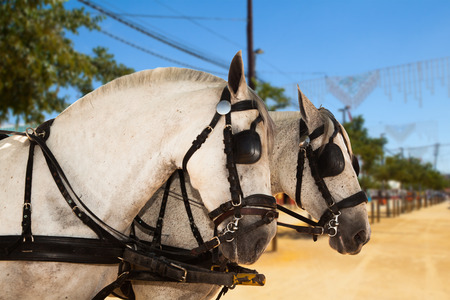 Close up of andalusian horses Stock Photo
