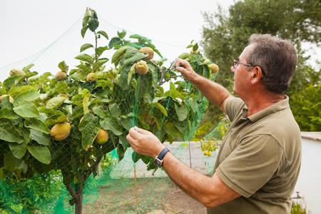 membrillo: Hombre mayor que pone una red en un árbol de membrillo.