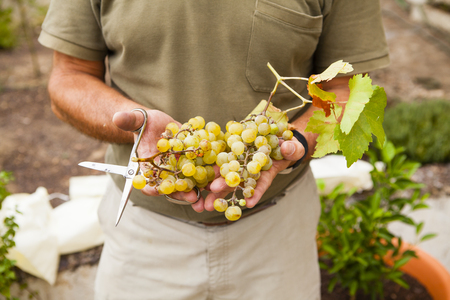 harvests: White grapes harvests and scissors on senior man hands. Stock Photo