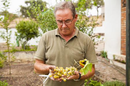 harvests: Senior man portrait with white grapes harvests.