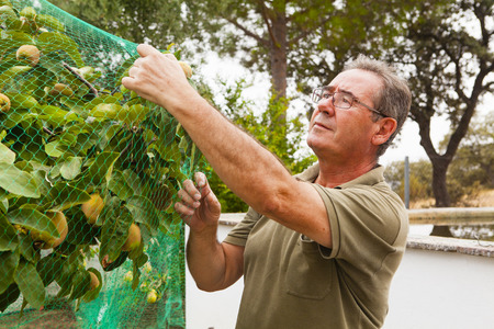 tree fruit: Senior man putting a net in a quince tree. Stock Photo