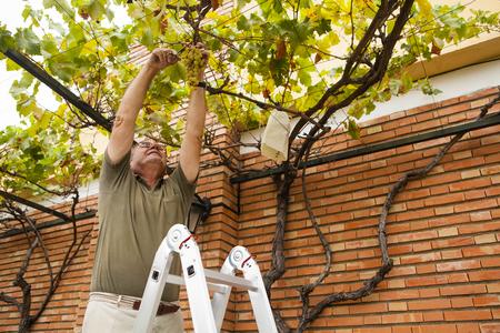Senior man cutting a white grapes harvest.