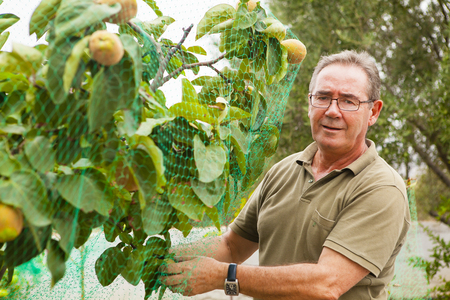 Senior man putting a net in a quince tree. 스톡 사진