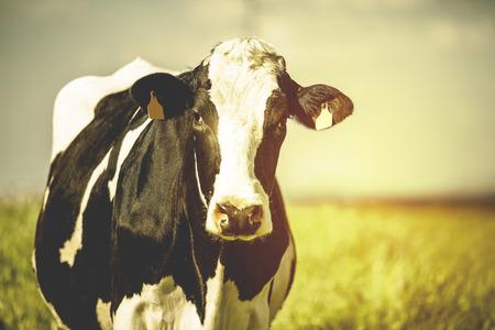 lacteos: Vaca lechera en el campo. Postal del estilo del vintage.