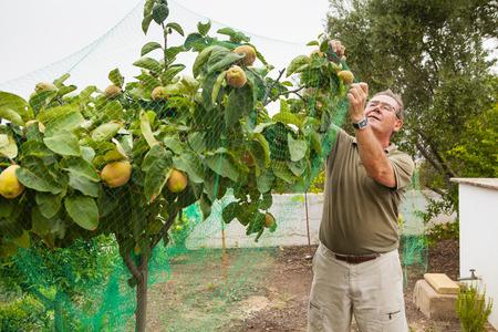 albero da frutto: Anziano uomo mettere una rete in un albero di mele cotogne.