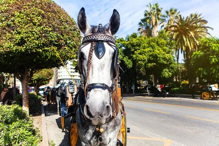 horse andalusian horses: White horse with carriage in Spain. Stock Photo