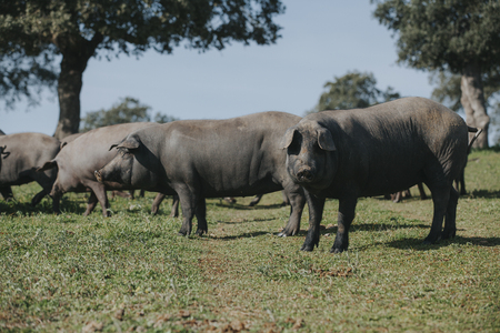 Iberian pig looking at camera, with a pig herd in the background Stock Photo