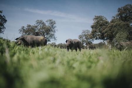 Iberian pig herd pasturing in a green meadow. Standard-Bild