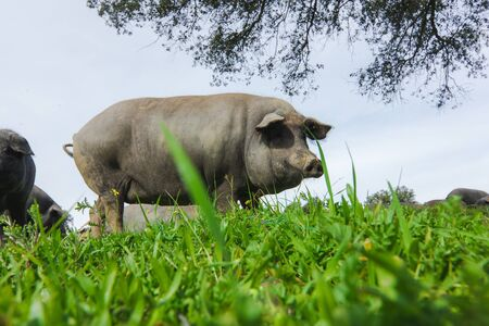 Iberian pig in a green meadow. Low angle view.