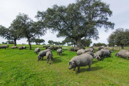 緑の牧草地で放牧イベリコ豚の群れ。