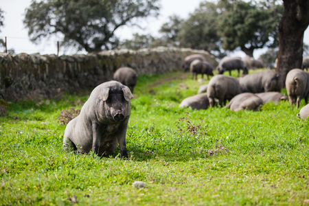 Iberian spanish pig sitting in a green meadow.