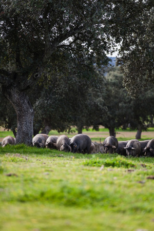 Iberian pig herd pasturing in the countryside.