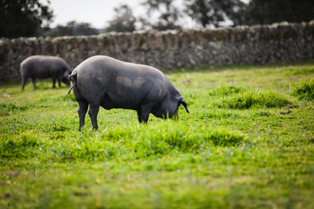 quietly: Iberian pigs pasturing quietly in the countryside.