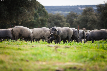 Group of iberian pigs pasturing in the countryside. Stock Photo