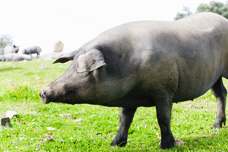 Iberian pig pasturing in a green meadow.