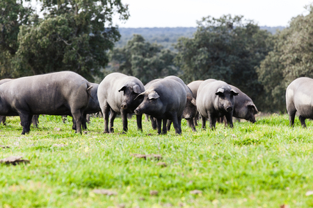 Iberian pig herd in the green countryside.