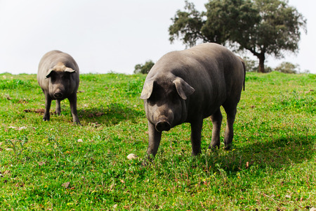 Two iberian pigs looking at camera in the countryside.