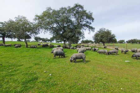 Iberian pig herd in a green meadow. Stock Photo