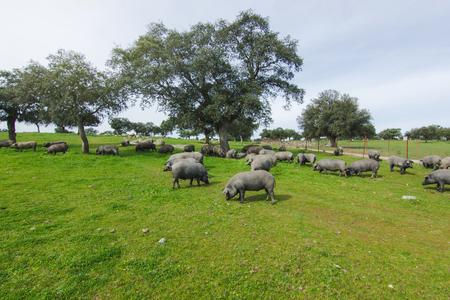 Iberische varkenskudde in een groene weide. Stockfoto