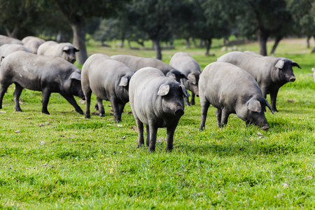 Iberian pigs walking in the countryside.
