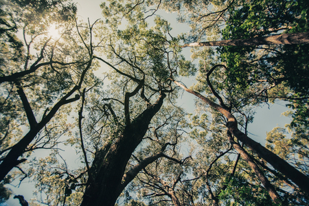 Eucalyptus Forest Stock Images, Royalty-Free Images & Vectors ...