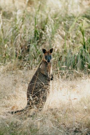 Wallaby kangaroo looking at camera in Australia.