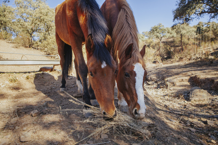 Cute couple of horses pasturing in a sunny day with beautiful blue sky background. Stock Photo