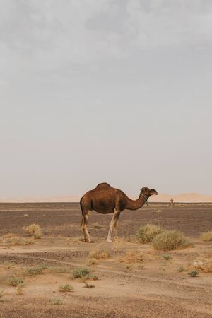 Beautiful camel dromedary standing in the middle of sahara desert.
