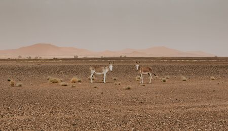 Two donkeys standing in the middle of Sahara desert in Morocco.