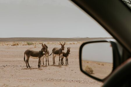 A family of donkeys viewed from a car in Sahara desert during a off road route.