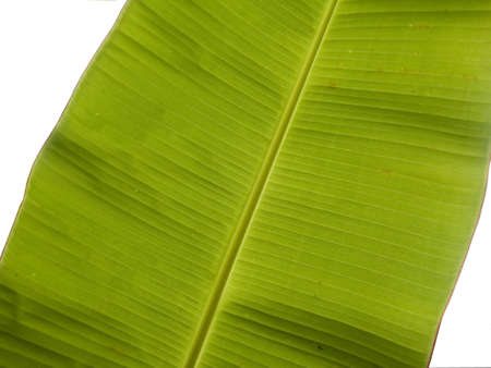 big banana leaf Stock Photo