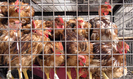 chicken cage: caged chickens