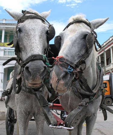 Nicaragua: two cart horses in granada nicaragua