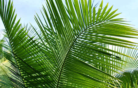 palm tree leafs
