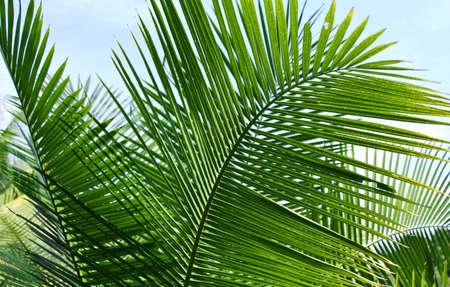 palm tree leafs Stock Photo - 2538783
