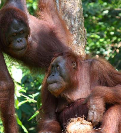 biped: orangutang